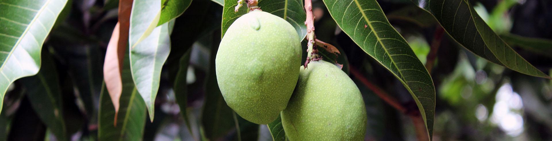 Grüne Frucht aus Paraguay