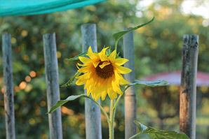Sonnenblume Paraguay